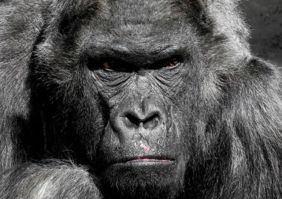 gorilla boese 8d 564