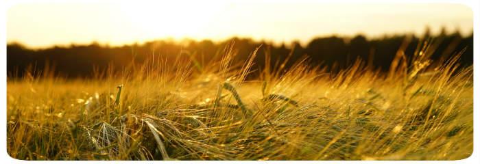 Getreide bei Sonnenuntergang