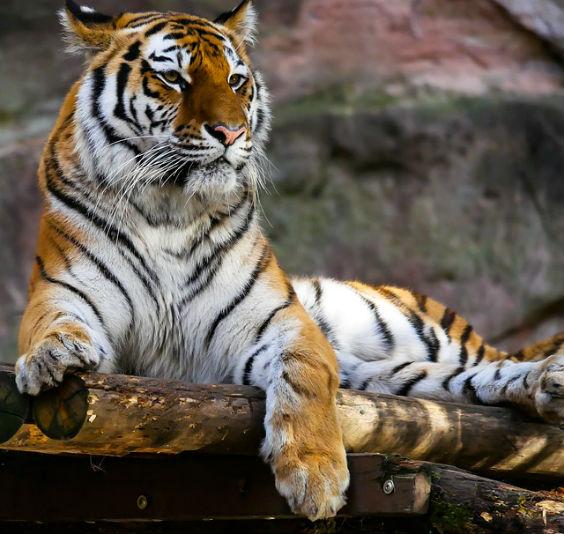 tiger anmutig 564