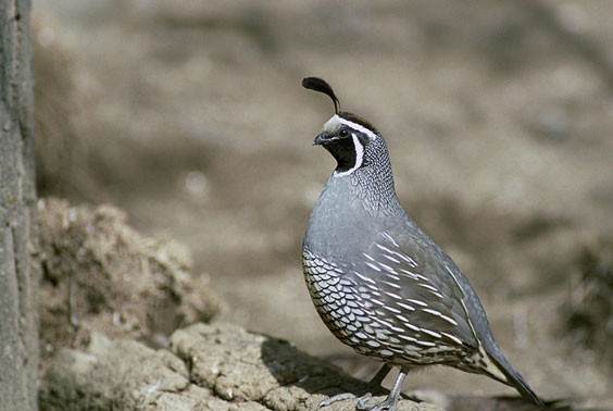 wachtel vogel rock apix