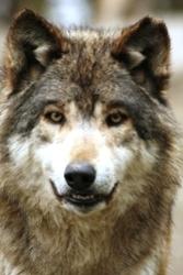 Der Wolf und der Kranich (von Aesop)