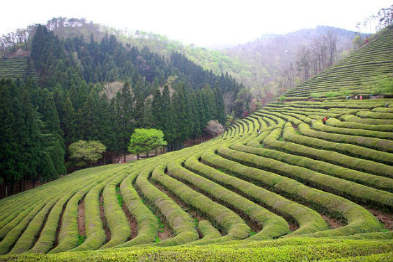 teeplantage bergio 564